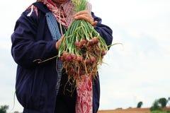 Organisch het oogsten van groene sjalotten Royalty-vrije Stock Foto