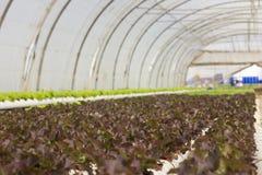 Organisch hydroponic plantaardig cultuurlandbouwbedrijf bij platteland, de vallei van Jordanië Stock Foto's