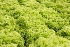 Organisch hydroponic plantaardig cultuurlandbouwbedrijf bij platteland, de vallei van Jordanië, Sla Royalty-vrije Stock Afbeeldingen