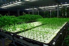 Organisch hydroponic plantaardig landbouwbedrijf Stock Afbeeldingen