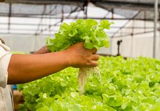 Organisch hydroponic plantaardig landbouwbedrijf Stock Foto's