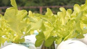 Organisch Hydroponic plantaardig landbouwbedrijf in wind. stock videobeelden