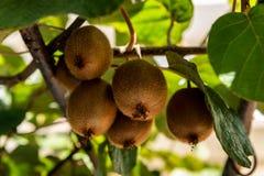 Organisch Kiwi Fruit Growing stock afbeeldingen