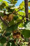Organisch Kiwi Fruit Growing stock foto's