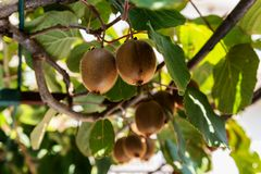 Organisch Kiwi Fruit Growing stock fotografie