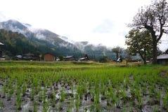 Organisch padieveld in het gebied van het shirakawagodorp Stock Afbeeldingen