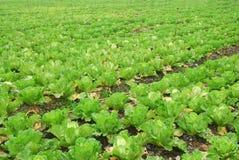 Organisch plantaardig landbouwbedrijf. Royalty-vrije Stock Fotografie