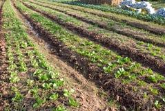 Organisch plantaardig landbouwbedrijf in Thailand stock afbeeldingen