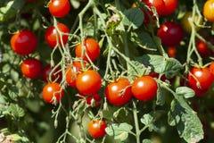 Organisch Rood Cherry Tomatoes royalty-vrije stock foto