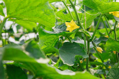 Organisch serrehoogtepunt van komkommerinstallaties Stock Fotografie