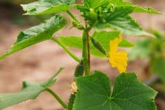 Organisch serrehoogtepunt van komkommerinstallaties Stock Foto's