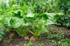 Organisch unharvested Bèta vulgaris van de bieteninstallatie in de grond Witte suikerbieten stock afbeelding