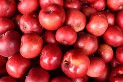 Organische Äpfel des Leuchtfeuer-(MALUS domestica 'Leuchtfeuer') Lizenzfreie Stockbilder