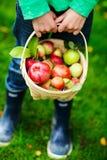 Organische Äpfel in einem Korb stockfotos