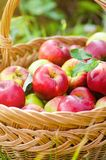 Organische Äpfel im Korb lizenzfreies stockbild