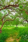 Organische abrikozentuin in Turkije. Stock Afbeelding