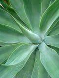 Organische achtergrond - Agave Stock Fotografie