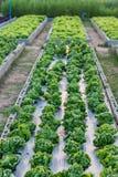 Organische Ackerland-Ernten Stockbild