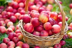 Organische appelen in de mand Stock Fotografie