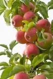 Organische appelen die van bomen hangen royalty-vrije stock foto
