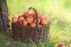 Organische appelen in een mand Stock Foto's