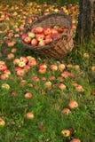 Organische appelen in een mand Royalty-vrije Stock Foto