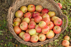 Organische appelen in een rieten mand Stock Foto's