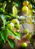 Organische Appelen met bladeren in de Mand Royalty-vrije Stock Fotografie