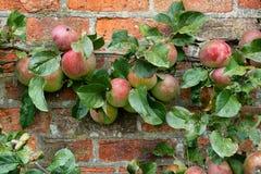 Organische appelen op rode bakstenen muur stock foto's