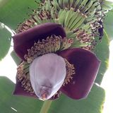 Organische bananen Stock Fotografie