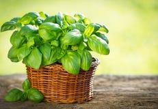 Organische Basilikumanlage Stockfoto