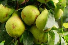 Organische Birnen im Garten Lizenzfreie Stockfotos