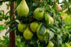 Organische Birnen im Garten Stockbild