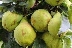 Organische Birnen im Garten Stockfotos