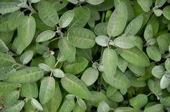 Organische Blätter des Salbeis auf einem Gebiet Stockbild