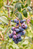 Organische Blaubeeren, die auf Blaubeerbusch reifen Lizenzfreies Stockbild