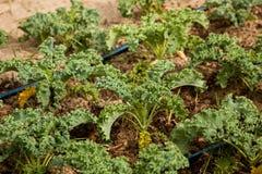 Organische Boerenkool Royalty-vrije Stock Afbeeldingen