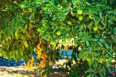 Organische citroenboom Stock Fotografie