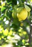 Organische citroenen die op een boom hangen Royalty-vrije Stock Fotografie