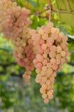 Organische druif Stock Foto