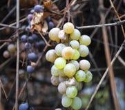Organische druiven Stock Foto