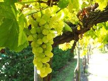 Organische druiven Royalty-vrije Stock Afbeeldingen