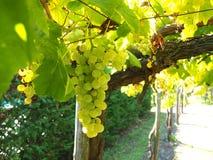 Organische druiven Royalty-vrije Stock Fotografie