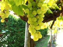 Organische druiven Stock Afbeeldingen