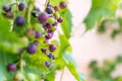 Organische druiven die in een tuin groeien Royalty-vrije Stock Foto's