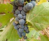 Organische druiven klaar te eten royalty-vrije stock afbeeldingen