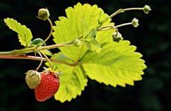 Organische einheimische reife Erdbeere mit einer unausgereiften Erdbeere trägt auf der Niederlassung Früchte Stockbilder