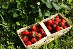 Organische Erdbeeren auf Feld Stockbilder