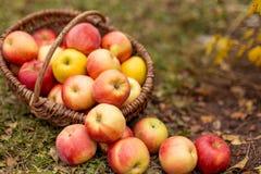 Organische Frucht im Garten Lizenzfreie Stockfotos