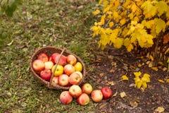 Organische Frucht im Garten Lizenzfreies Stockfoto